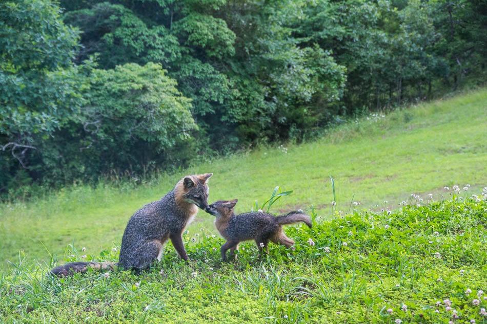 后院常客之----狐狸一家亲_图1-8