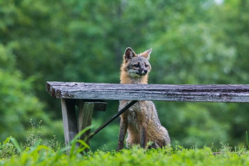 后院常客之----狐狸一家亲_图1-11