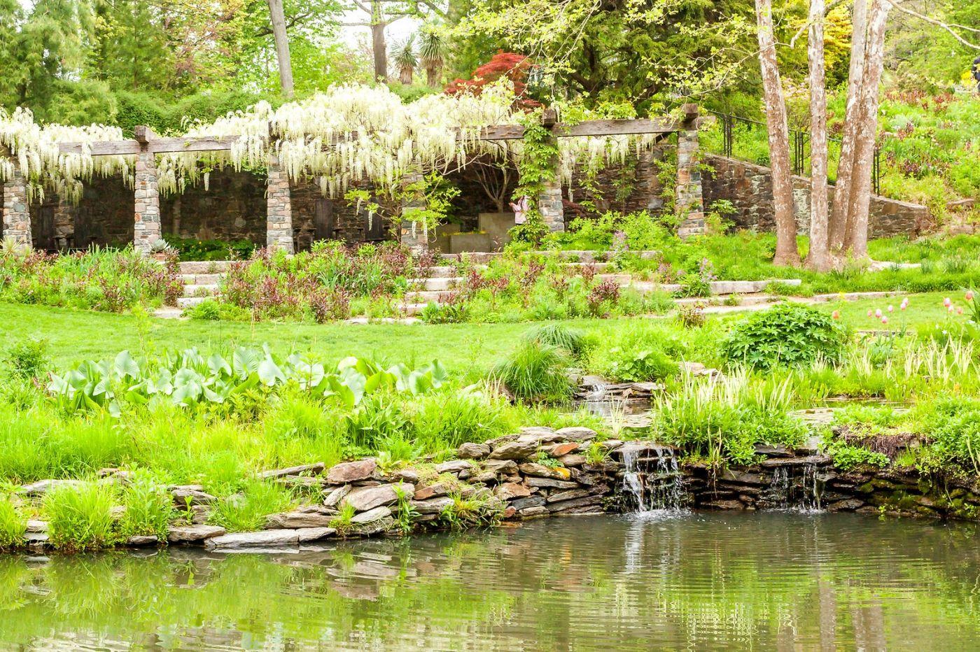 Chanticleer花园,那年盛开的紫藤花_图1-13