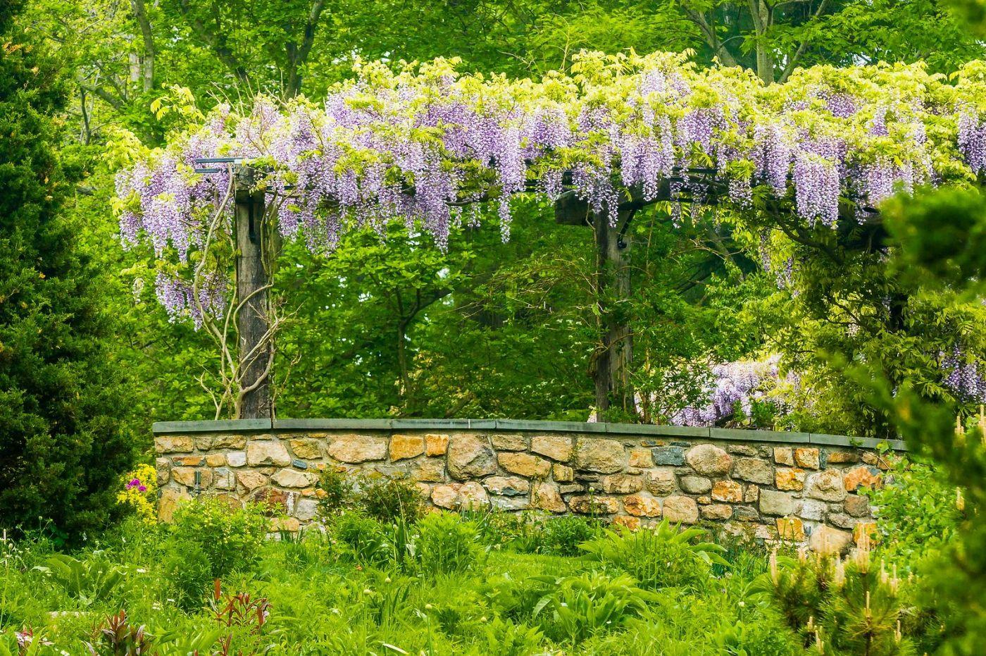 Chanticleer花园,那年盛开的紫藤花_图1-10