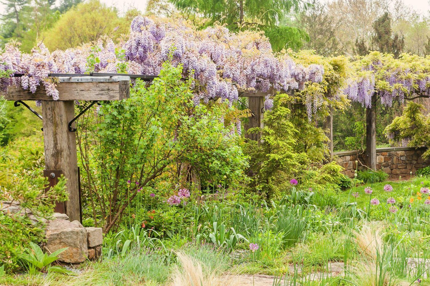 Chanticleer花园,那年盛开的紫藤花_图1-12
