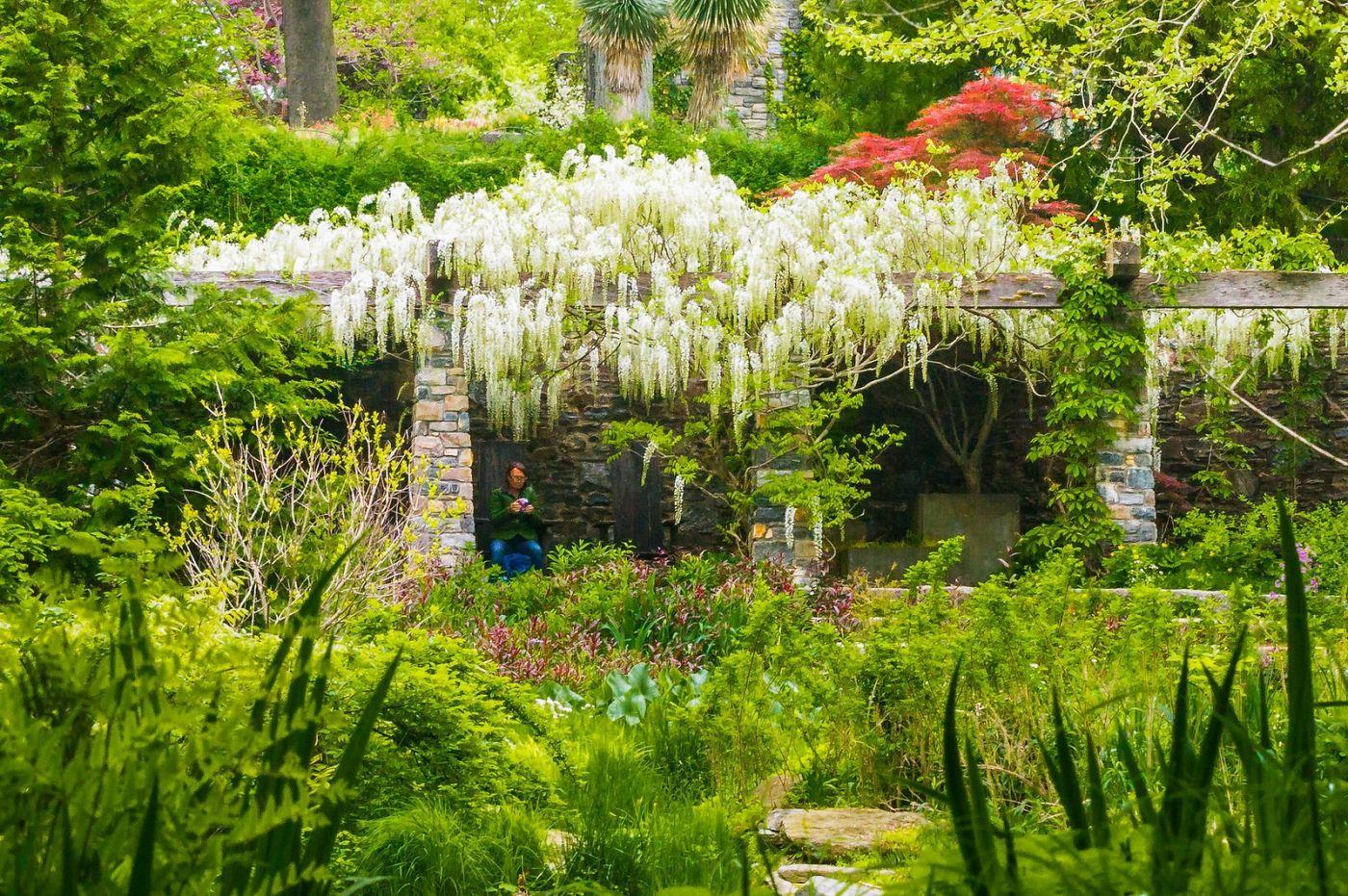 Chanticleer花园,那年盛开的紫藤花_图1-7