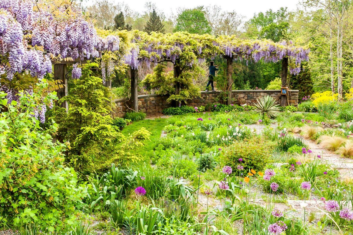 Chanticleer花园,那年盛开的紫藤花_图1-11