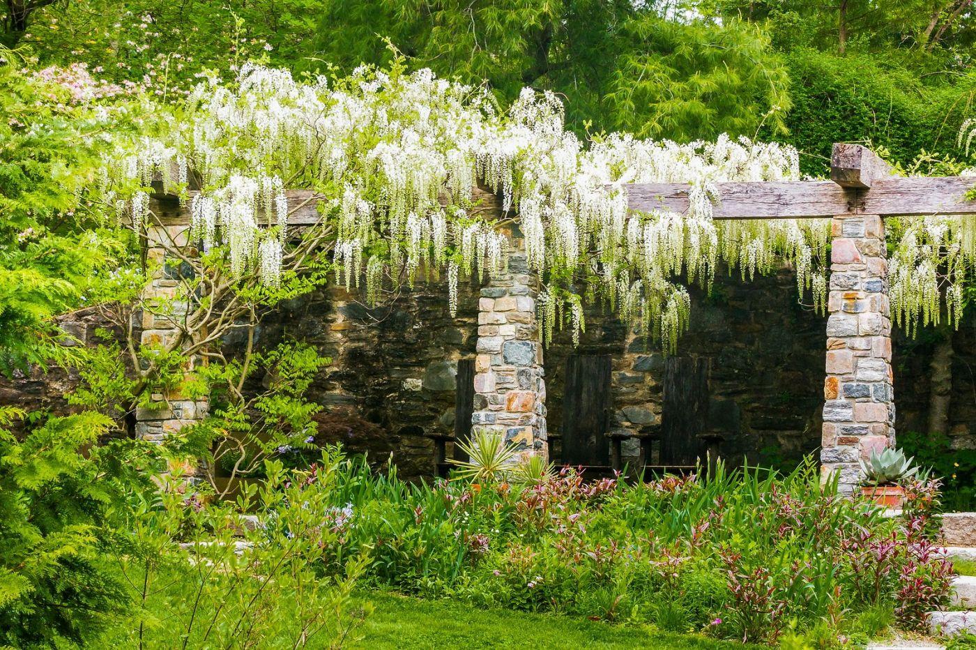 Chanticleer花园,那年盛开的紫藤花_图1-5