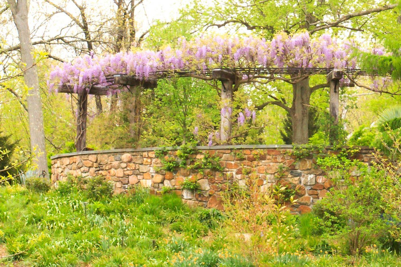 Chanticleer花园,那年盛开的紫藤花_图1-8