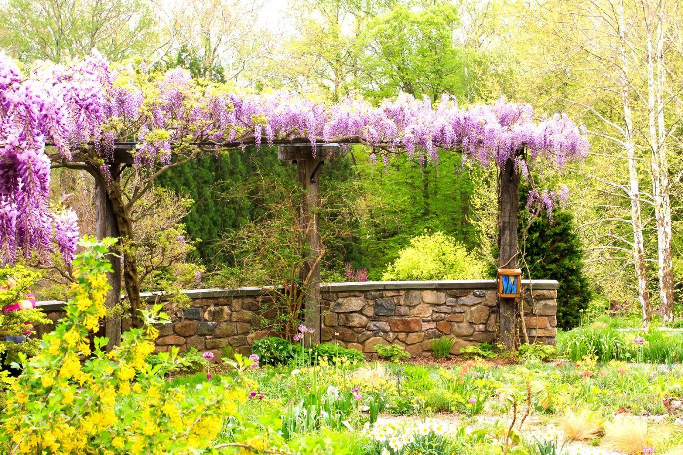 Chanticleer花园,那年盛开的紫藤花_图1-6