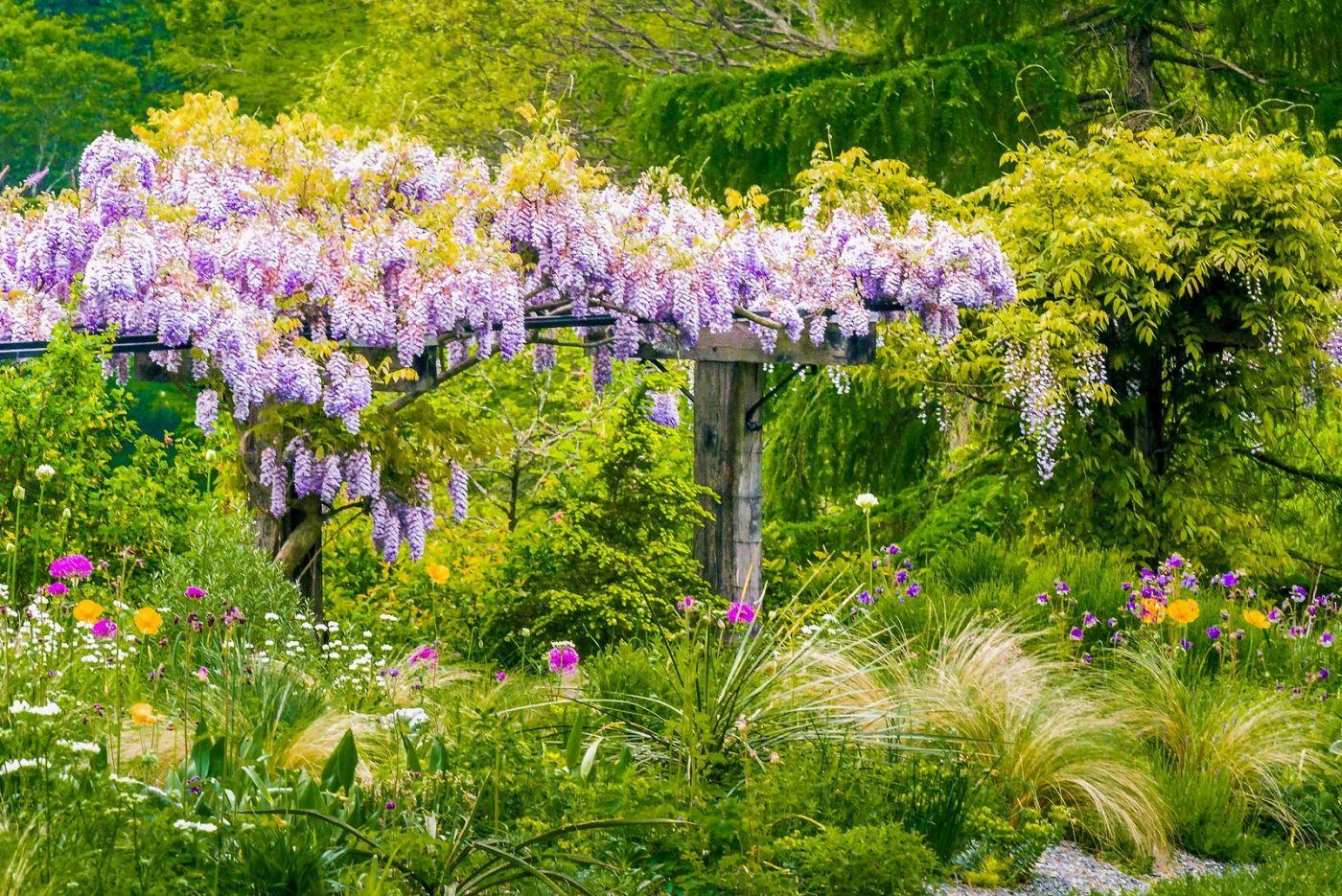 Chanticleer花园,那年盛开的紫藤花_图1-1
