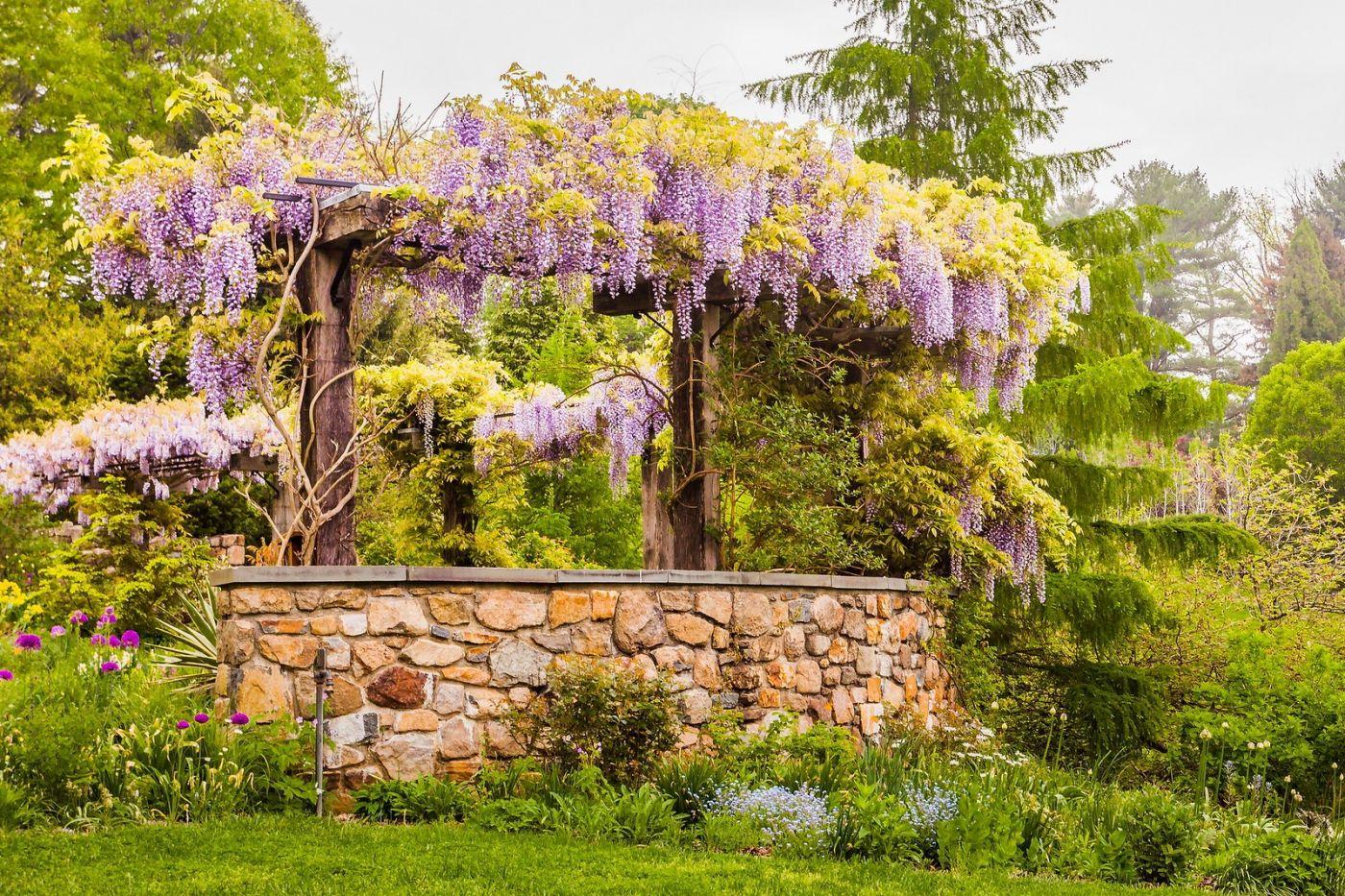 Chanticleer花园,那年盛开的紫藤花_图1-4