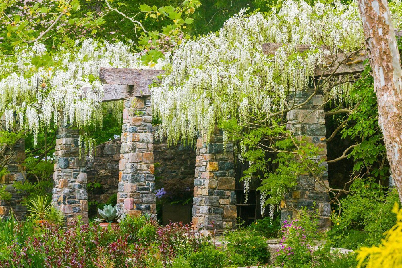 Chanticleer花园,那年盛开的紫藤花_图1-3