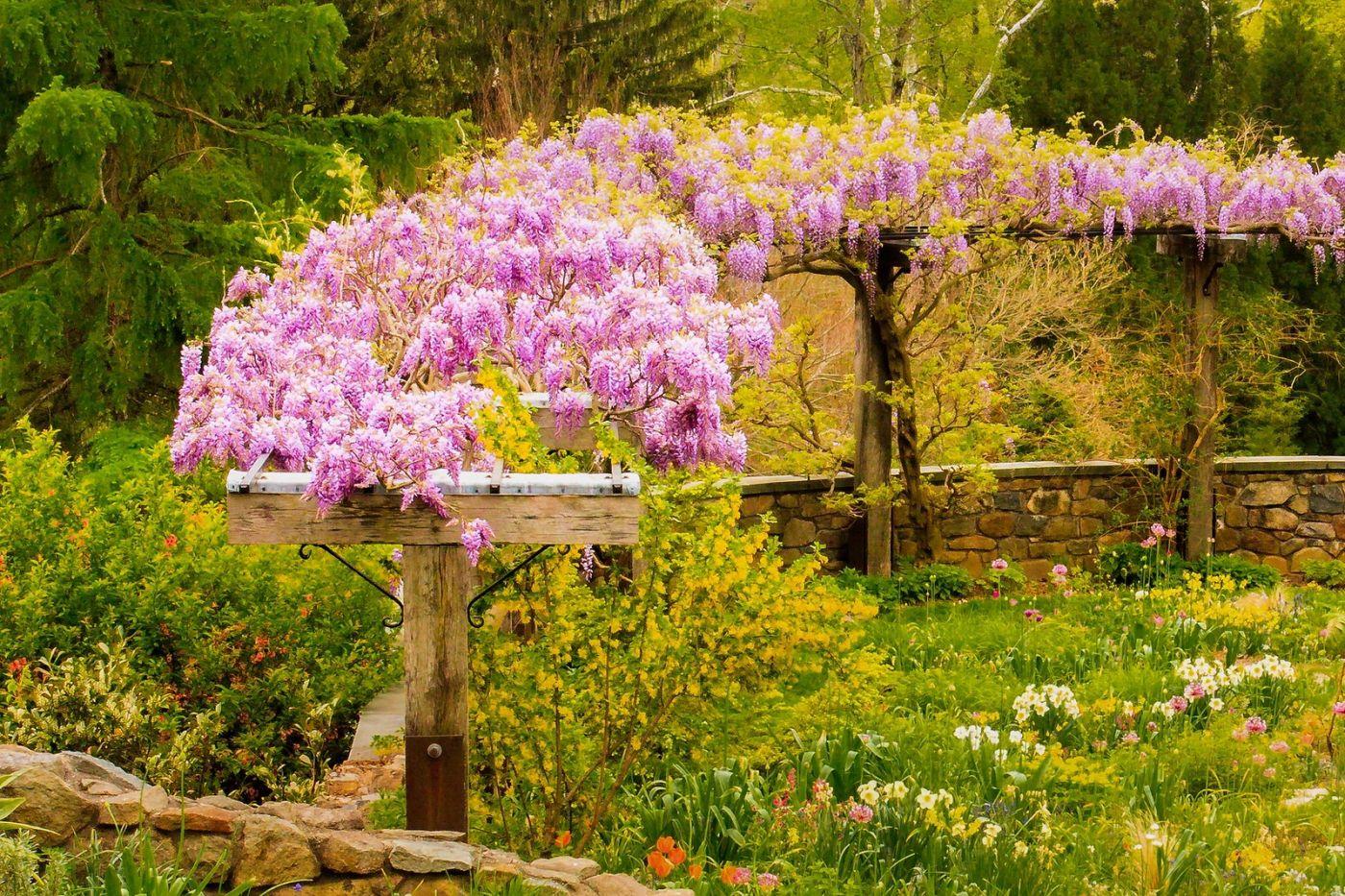 Chanticleer花园,那年盛开的紫藤花_图1-19