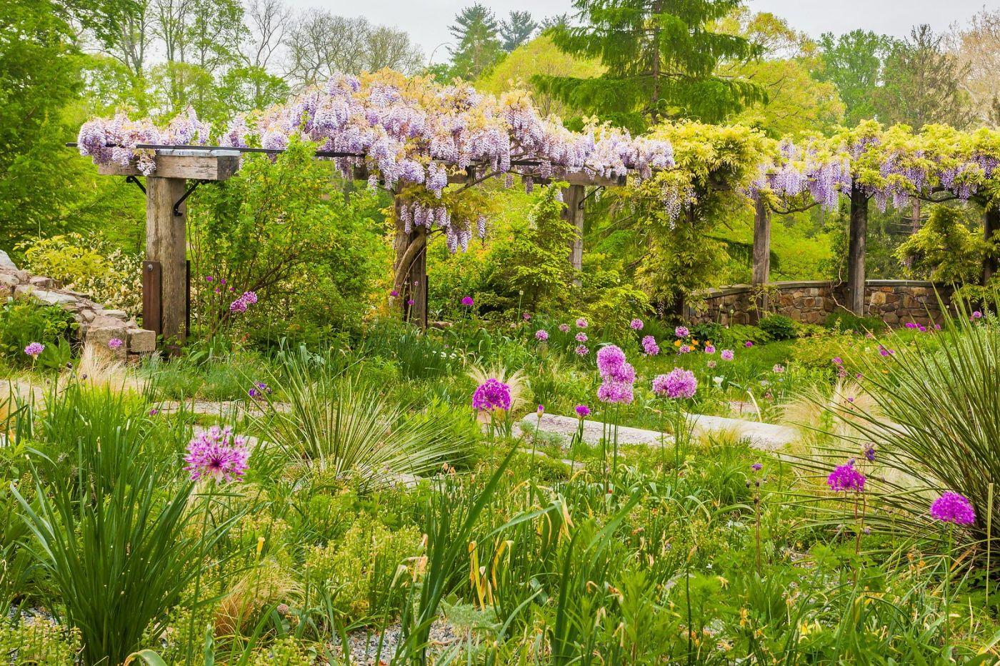 Chanticleer花园,那年盛开的紫藤花_图1-20