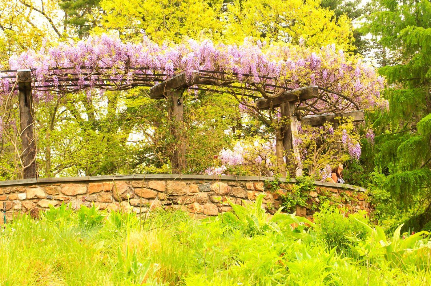 Chanticleer花园,那年盛开的紫藤花_图1-24