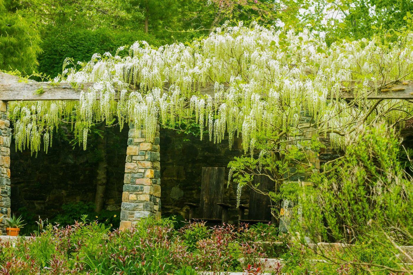 Chanticleer花园,那年盛开的紫藤花_图1-23
