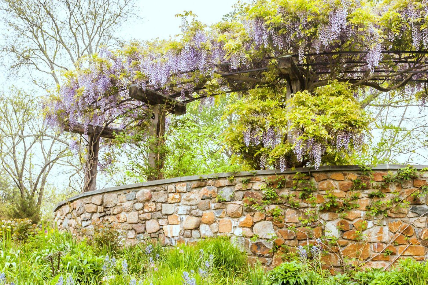 Chanticleer花园,那年盛开的紫藤花_图1-21