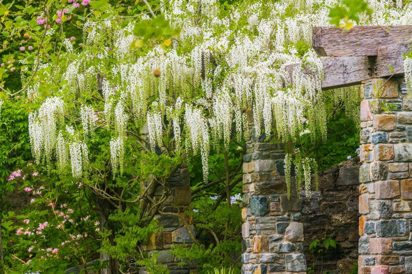 Chanticleer花园,那年盛开的紫藤花_图1-25