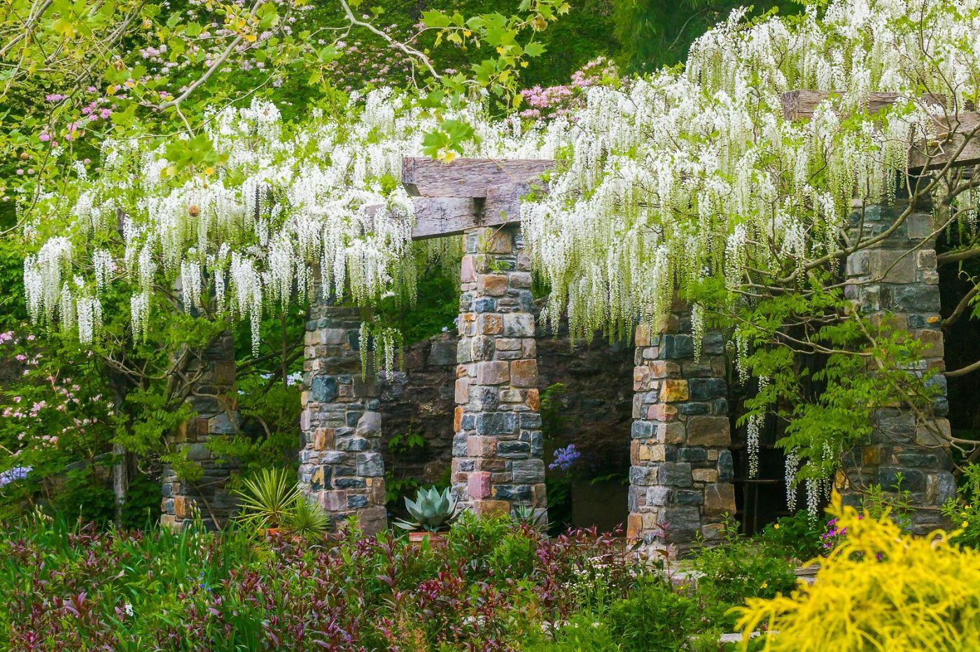 Chanticleer花园,那年盛开的紫藤花_图1-27