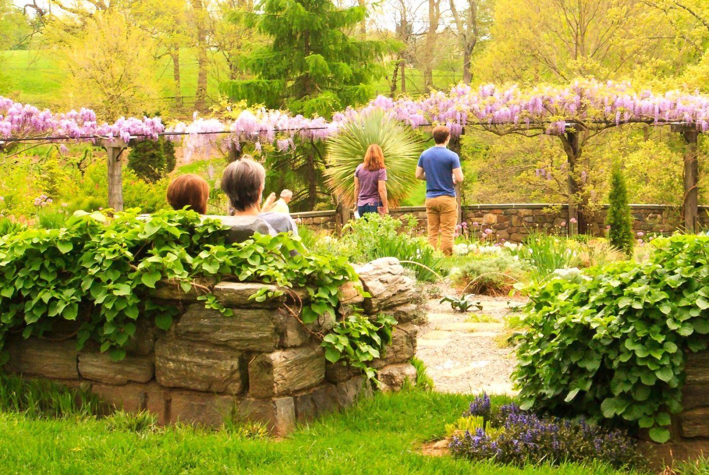 Chanticleer花园,那年盛开的紫藤花_图1-28