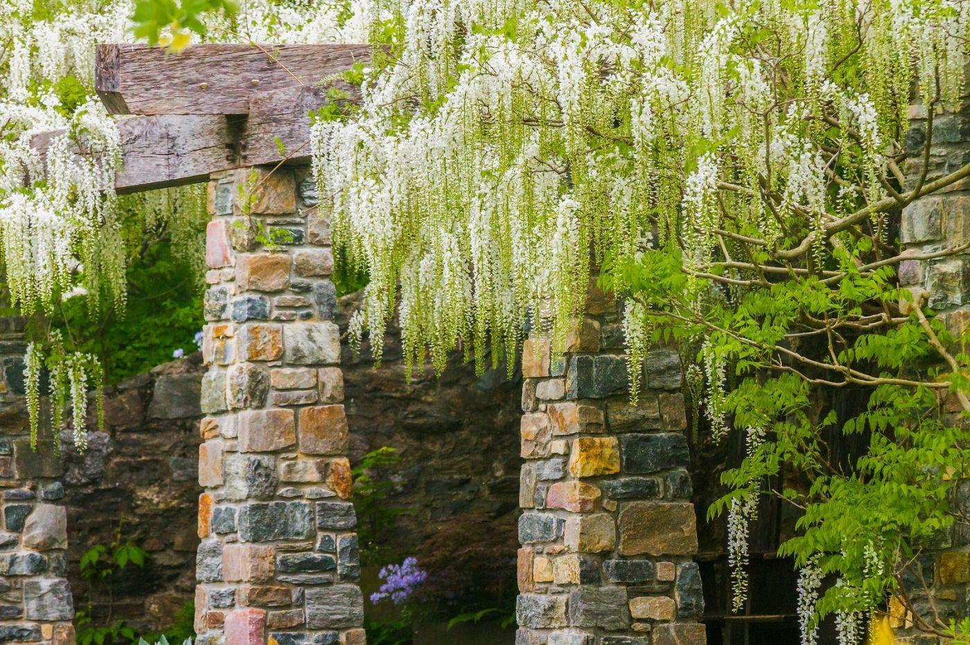 Chanticleer花园,那年盛开的紫藤花_图1-32