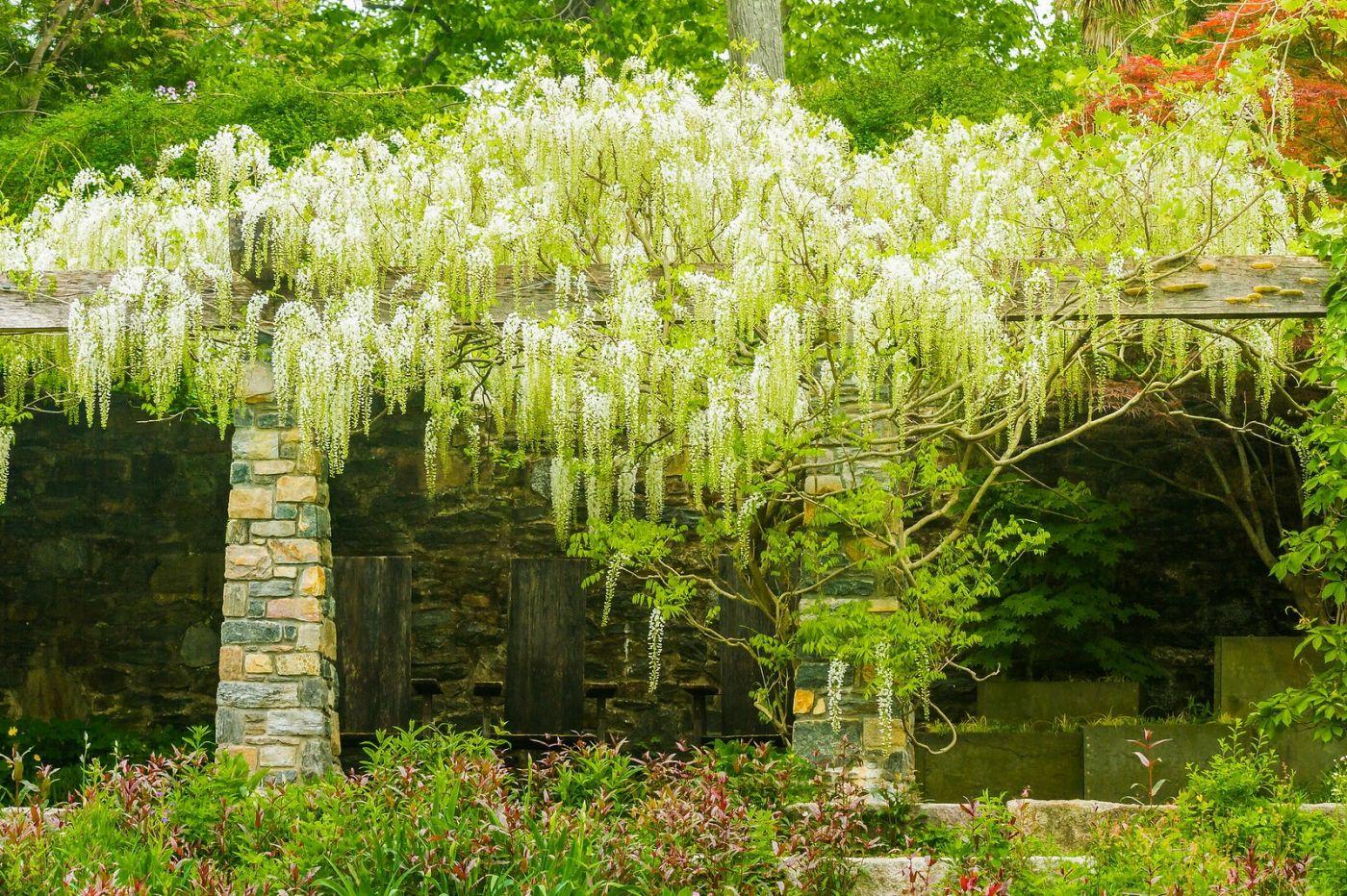 Chanticleer花园,那年盛开的紫藤花_图1-33