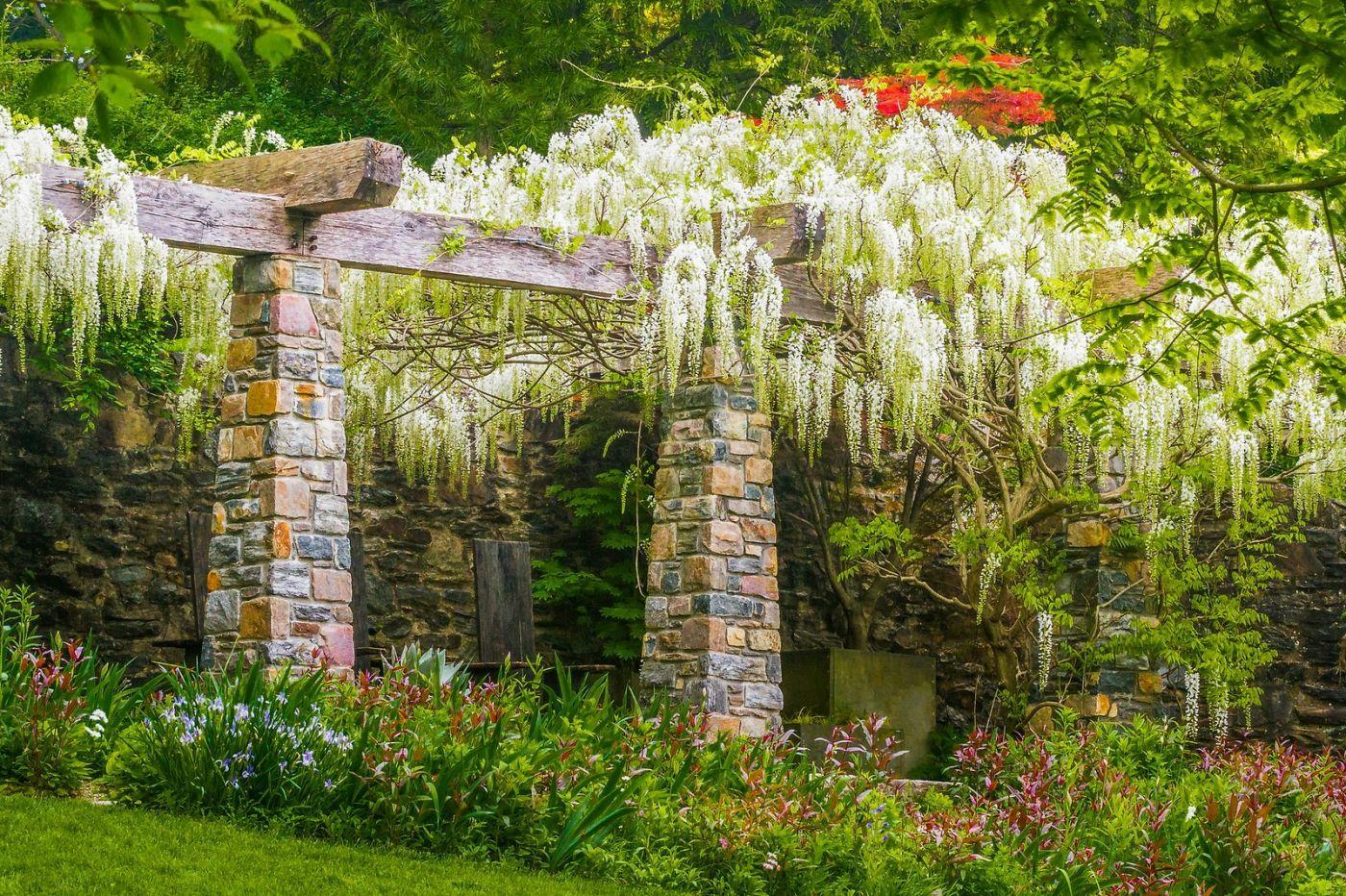 Chanticleer花园,那年盛开的紫藤花_图1-34