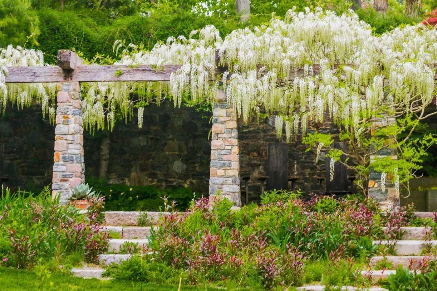 Chanticleer花园,那年盛开的紫藤花_图1-36