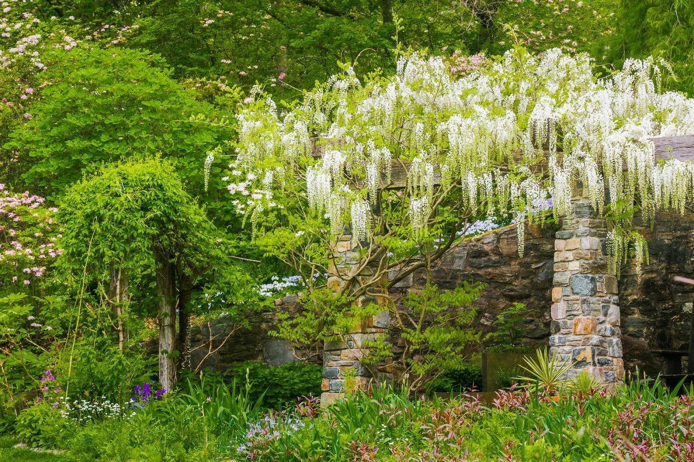 Chanticleer花园,那年盛开的紫藤花_图1-39