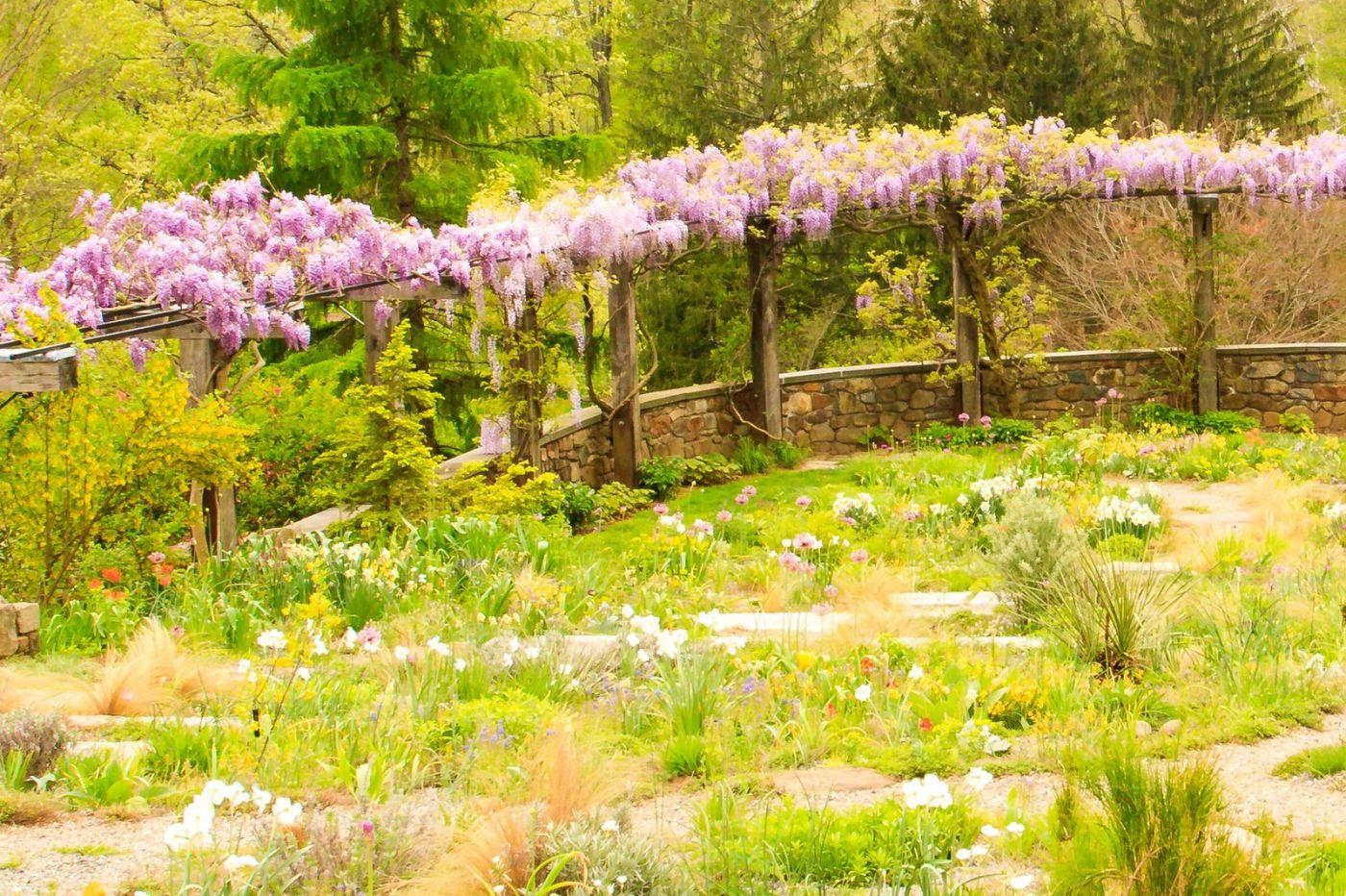 Chanticleer花园,那年盛开的紫藤花_图1-38