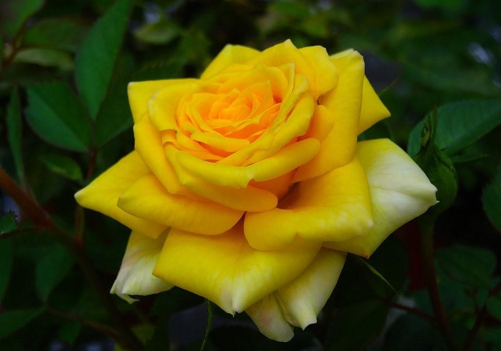 黄色的花朵_图1-1