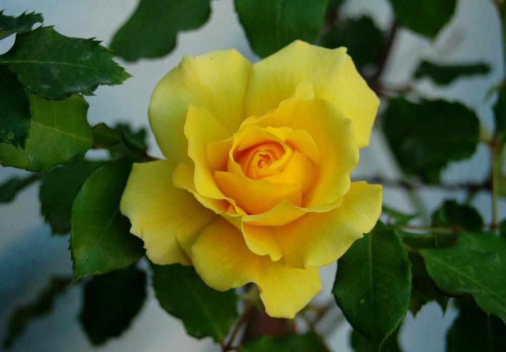 黄色的花朵_图1-8