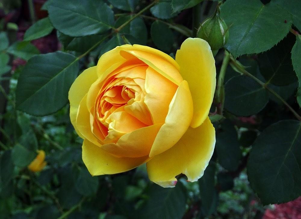 黄色的花朵_图1-9