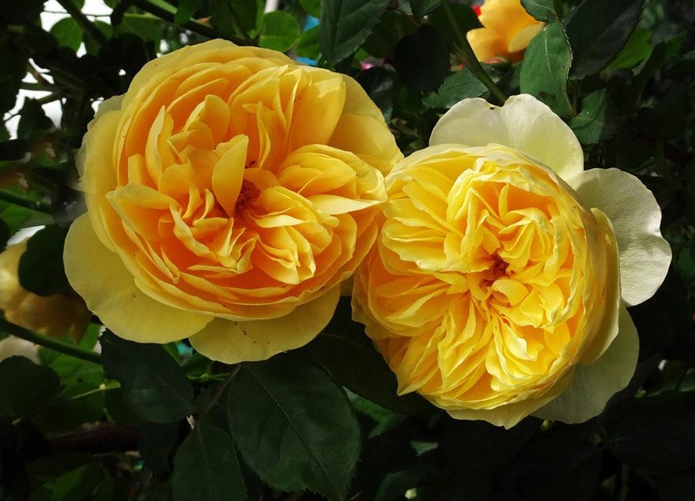 黄色的花朵_图1-11