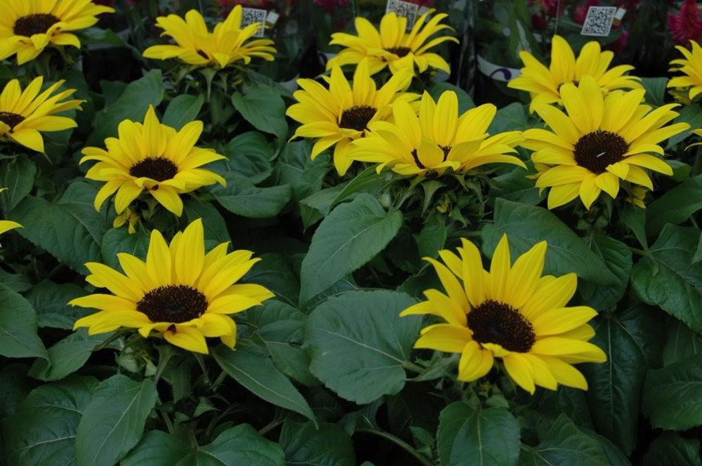 黄色的花朵_图1-14