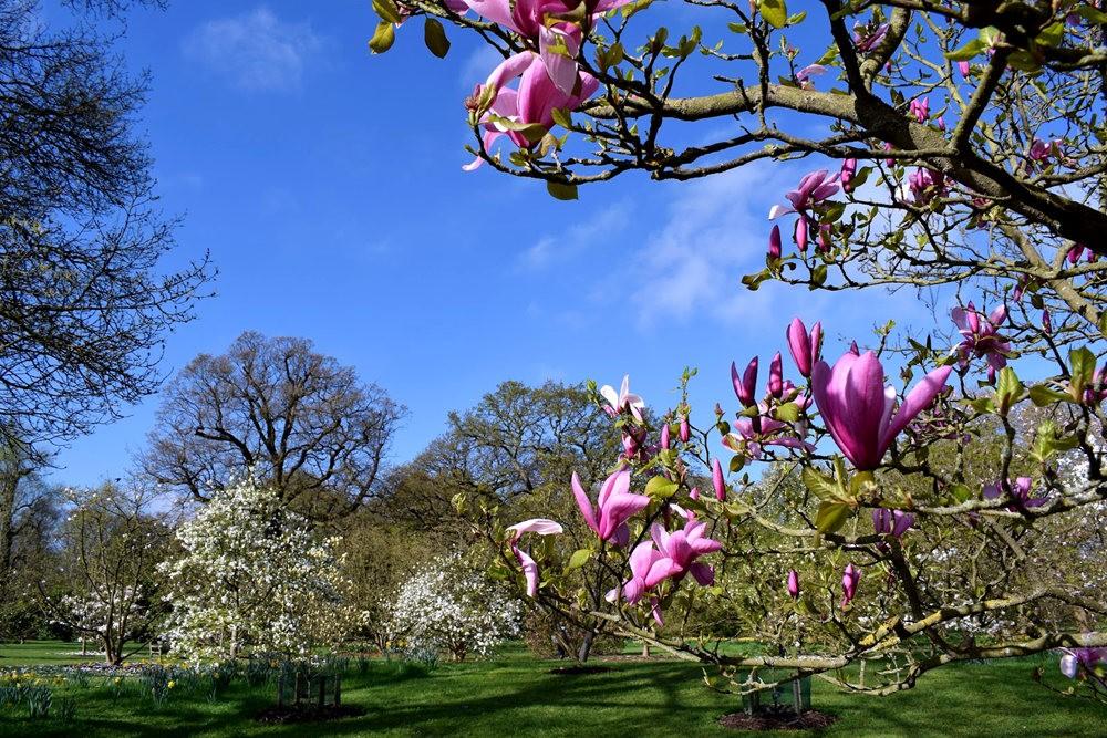 4月 伦敦的木兰树_图1-1