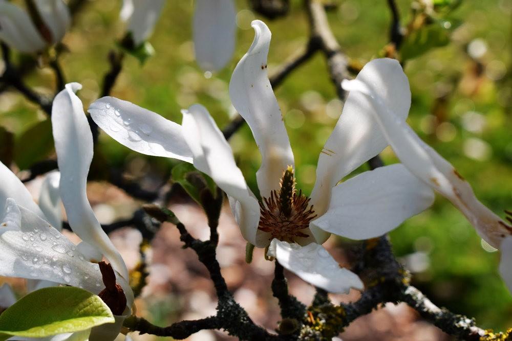 4月 伦敦的木兰树_图1-9