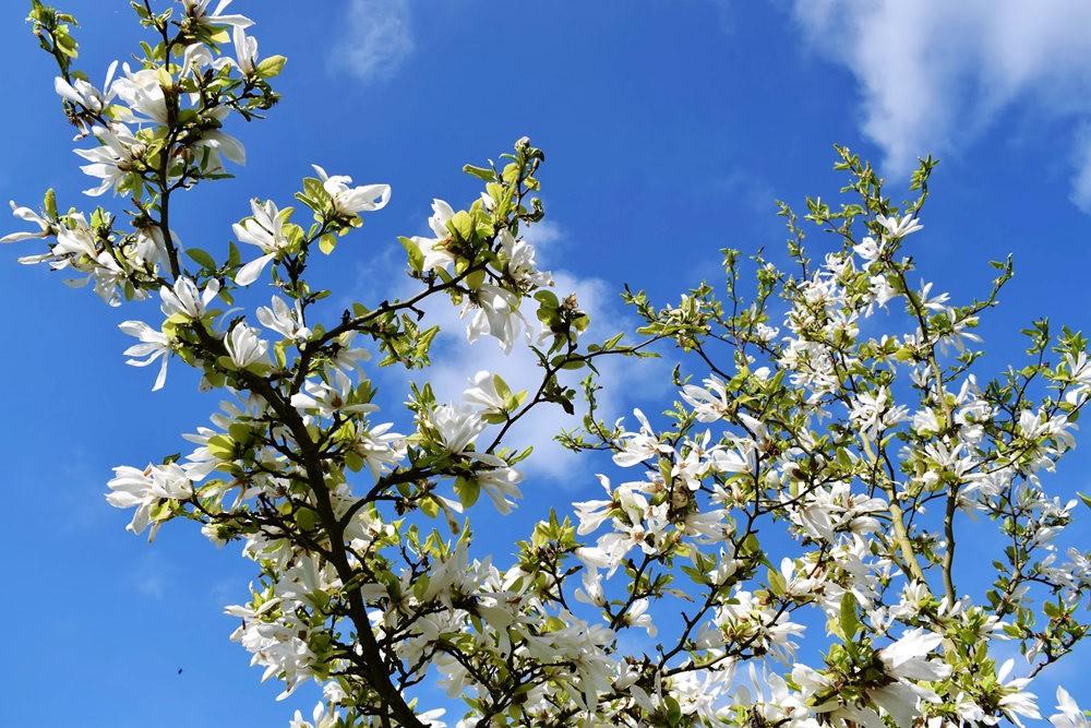 4月 伦敦的木兰树_图1-10