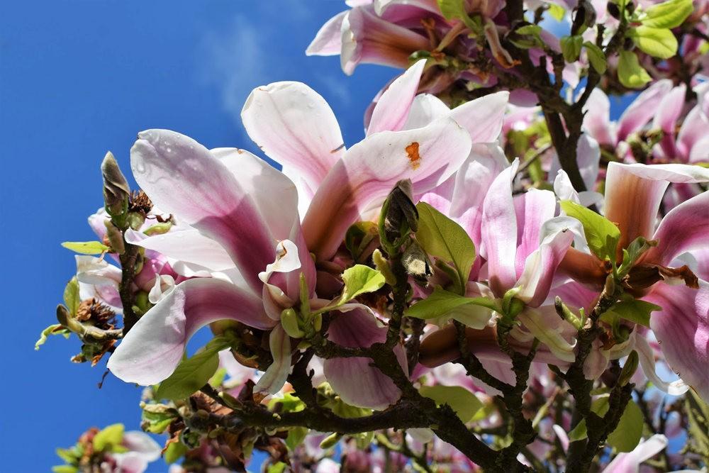 4月 伦敦的木兰树_图1-11