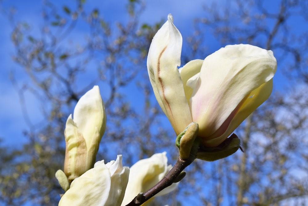 4月 伦敦的木兰树_图1-12