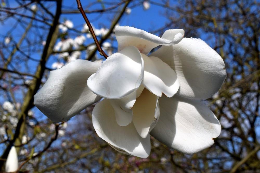4月 伦敦的木兰树_图1-15