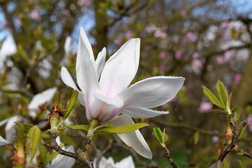 4月 伦敦的木兰树_图1-16