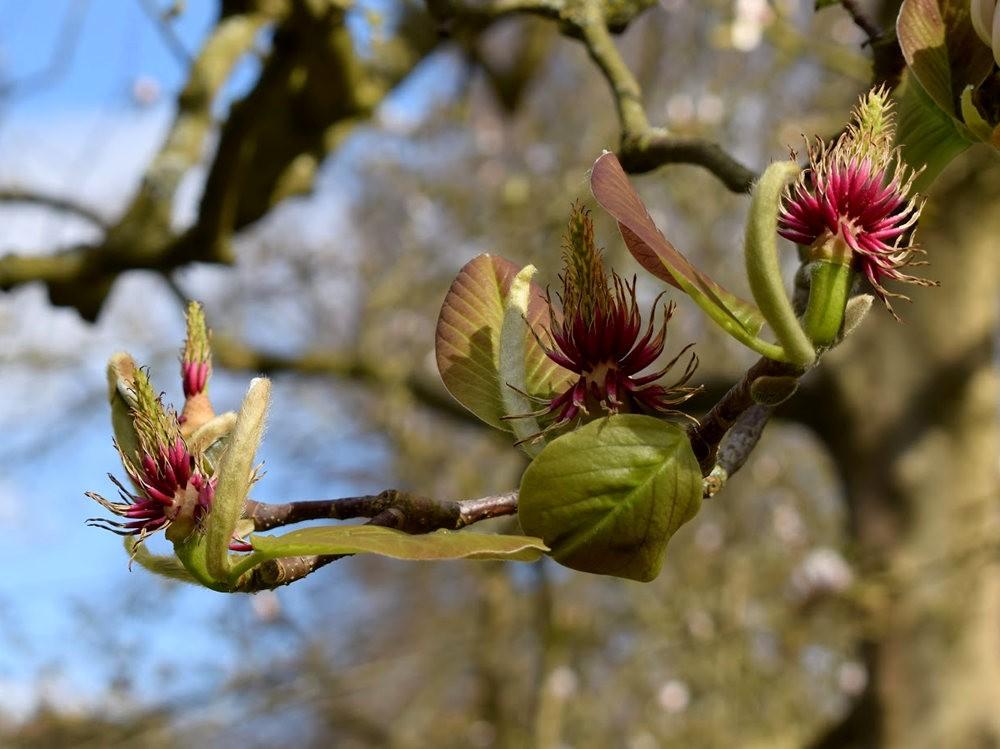 4月 伦敦的木兰树_图1-19