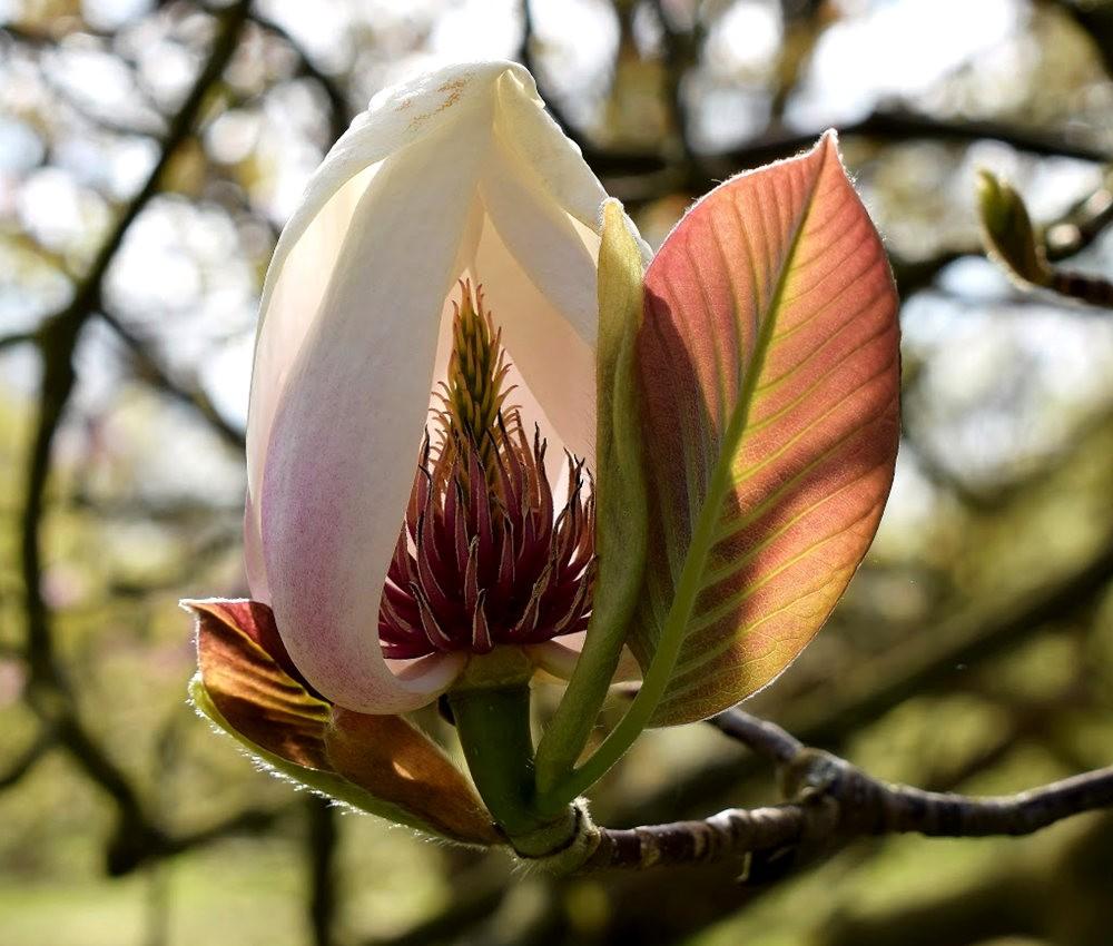 4月 伦敦的木兰树_图1-21