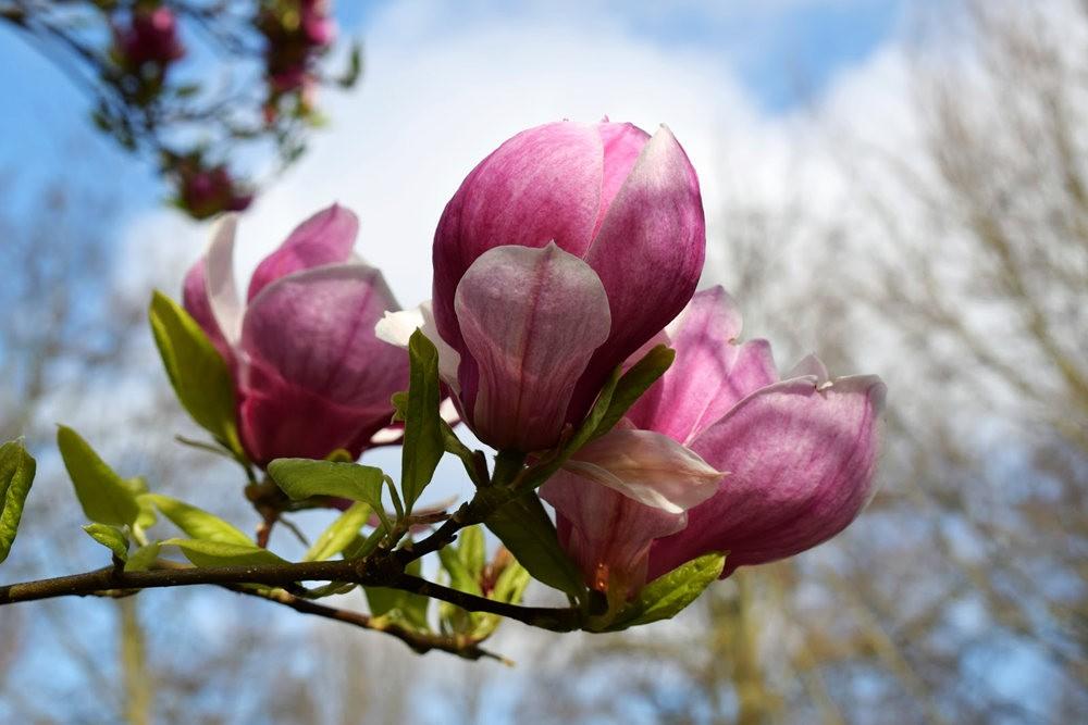 4月 伦敦的木兰树_图1-23