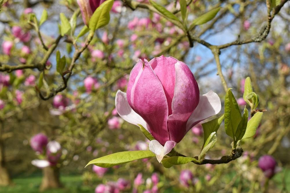4月 伦敦的木兰树_图1-24