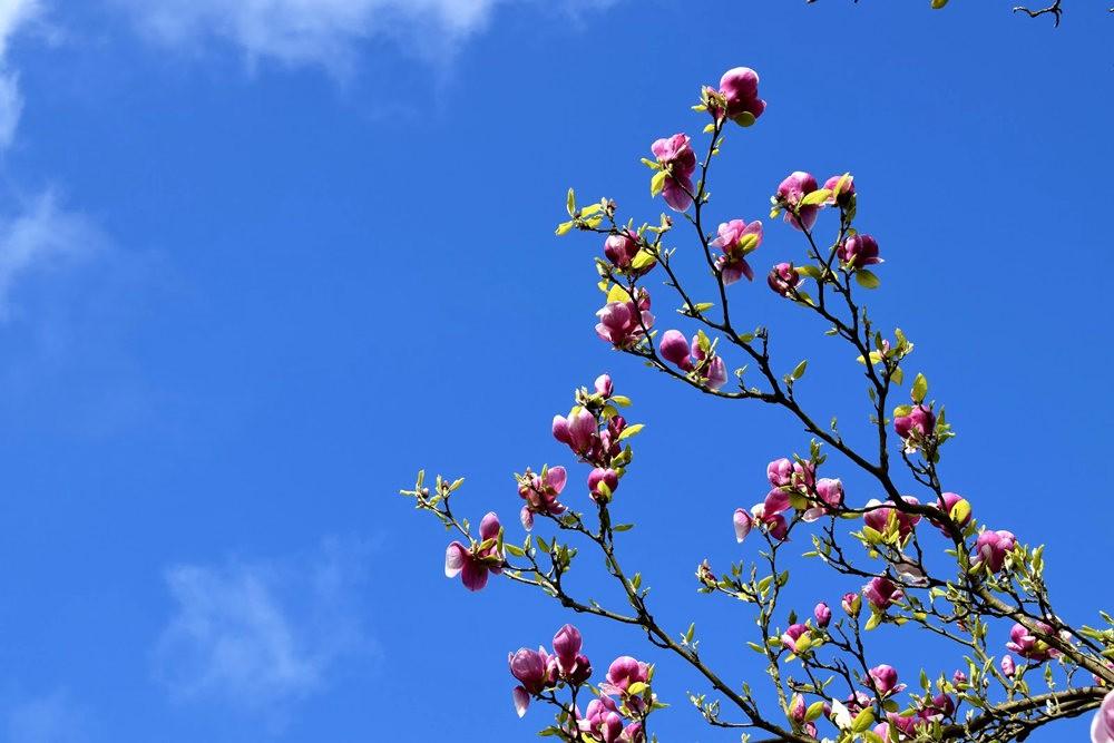 4月 伦敦的木兰树_图1-25
