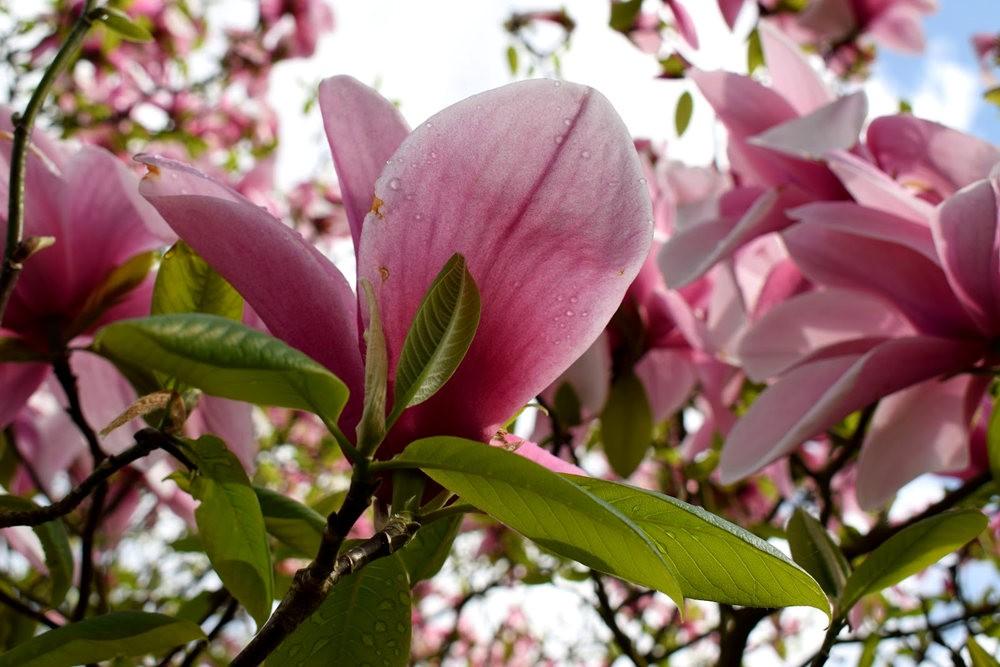 4月 伦敦的木兰树_图1-26