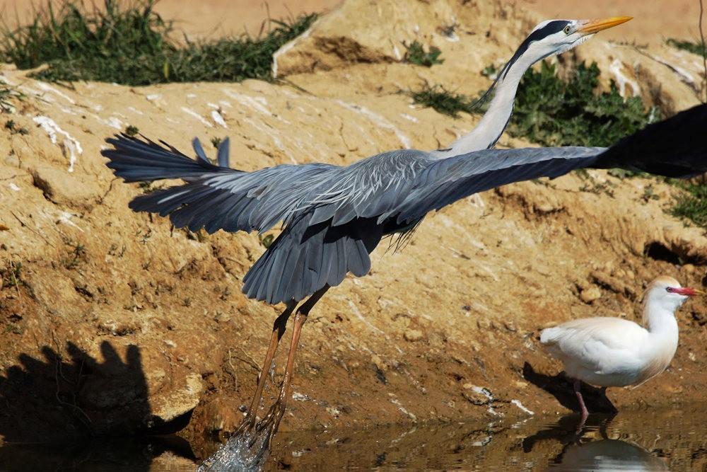 马丁斯雀鸟保护区-------苍鹭.戴胜鸟_图1-11