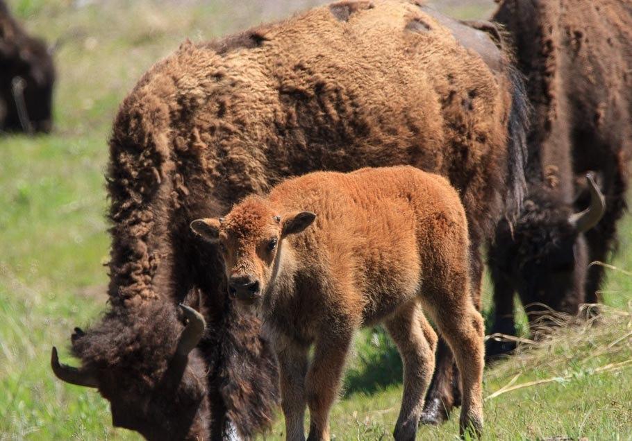 南达科他州的野生动物_图1-2