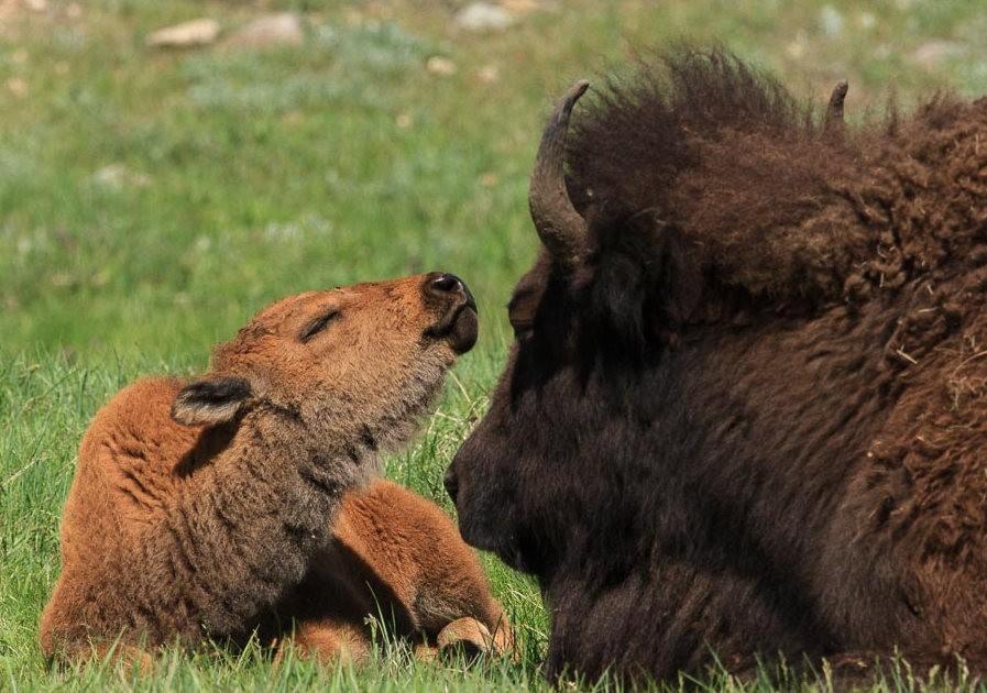 南达科他州的野生动物_图1-4
