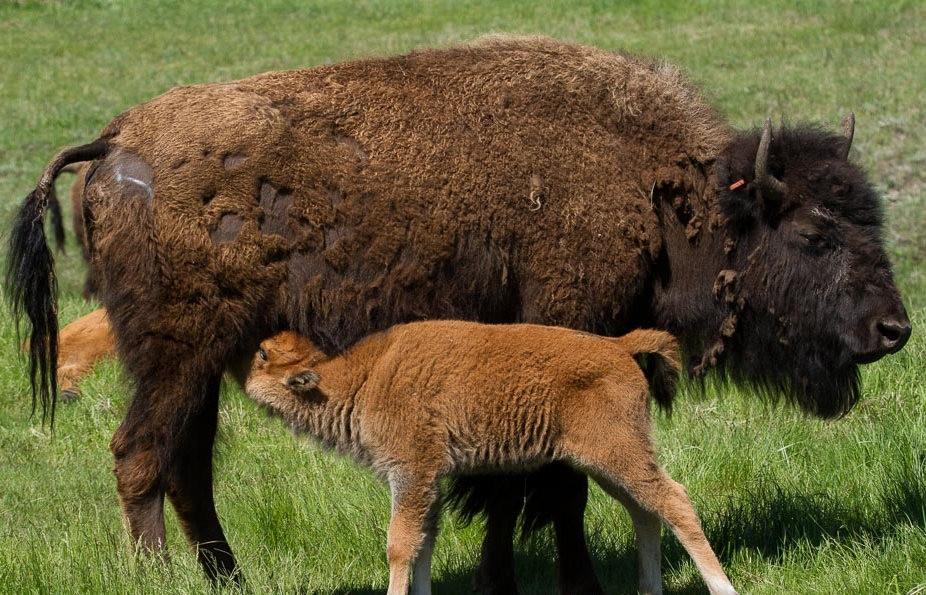 南达科他州的野生动物_图1-5