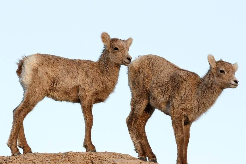 南达科他州的野生动物_图1-12